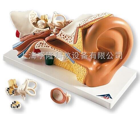 新耳模型,实物3倍,4部分