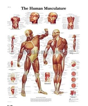 新Human Musculature