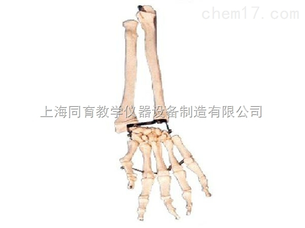 手臂骨带尺骨及桡骨模型 高级人体解剖医学模型 其它