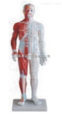 男性针灸模型(带肌肉解剖)(PVC树脂材质)