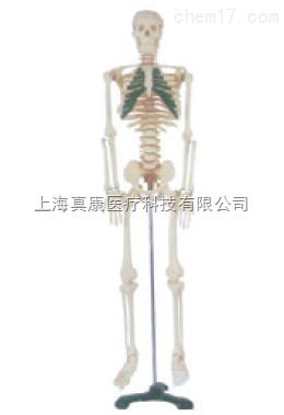 人体骨骼带分椎间盘模型