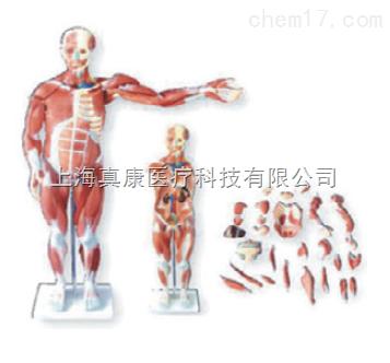 人体肌肉模型27件(躯干骨骼)