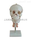 头骨带颈椎模型(人体骨骼)