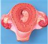 GD/A42005/2高级二个月胚胎模型