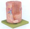 GD/A18003骨骼肌纤维与运动终板放大模型