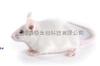 Nod小鼠