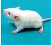 SD鼠|SD大鼠|SD孕鼠 实验动物哪有卖