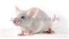 ICR小鼠