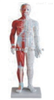 ZK-XC518A男性针灸模型(带肌肉解剖)(PVC树脂材质)