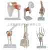 ZK-XC109-114关节模型(肩、髋、膝、肘、脚、手)(人体骨骼模型)